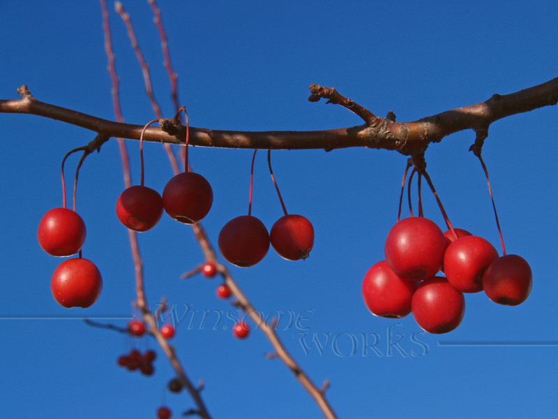 "Ornamental Crab-apple Branch (genus ""Mallus""); Nov., Eastern PA"
