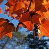 Orange Maple Leaves in Fall Brilliance