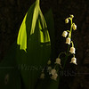 Lilies of the Valley by Pin Oak Trunk, w/ Early AM Lighting