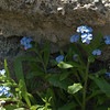 Forget-me-nots growing in rubble