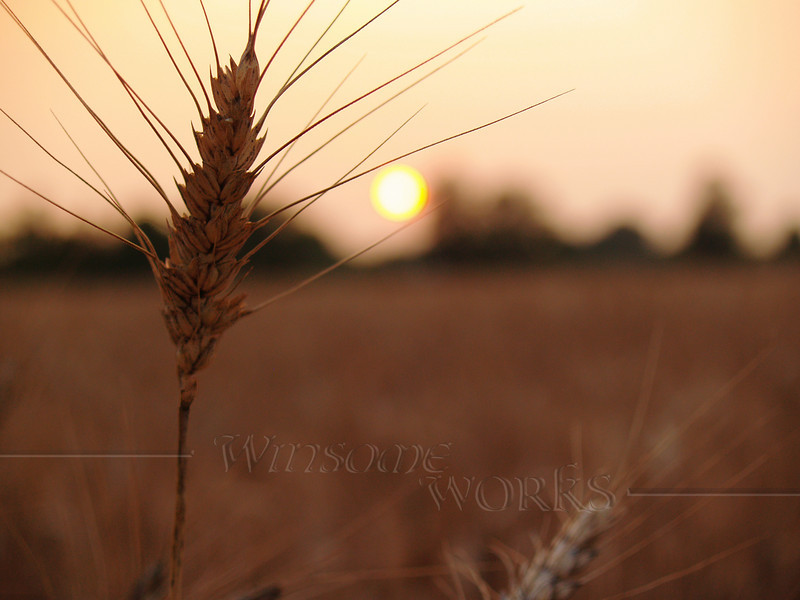 Stalk of Barley Catches the Setting Sun in Autumn