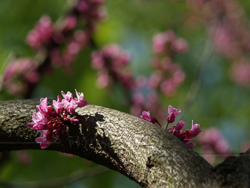 """Cercis canadensis """"Forest Pansy"""" (Redbud) branch"""