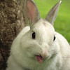 male dwarf rabbit pet with humorous appearance