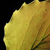 Bigtooth aspen leaf from a Hickory Run, PA  hike