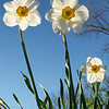 Jonquils (Narcissus jonquilla) on a spring afternoon, sun-lit from behind