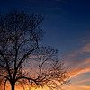 Black Walnut tree (Juglans nigra L.) Silhouetted in Sunset-- Quakertown, PA; spring