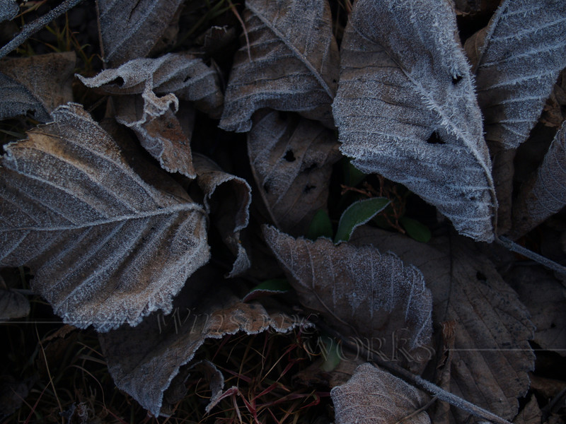 Dead Beech Leaves with Frost