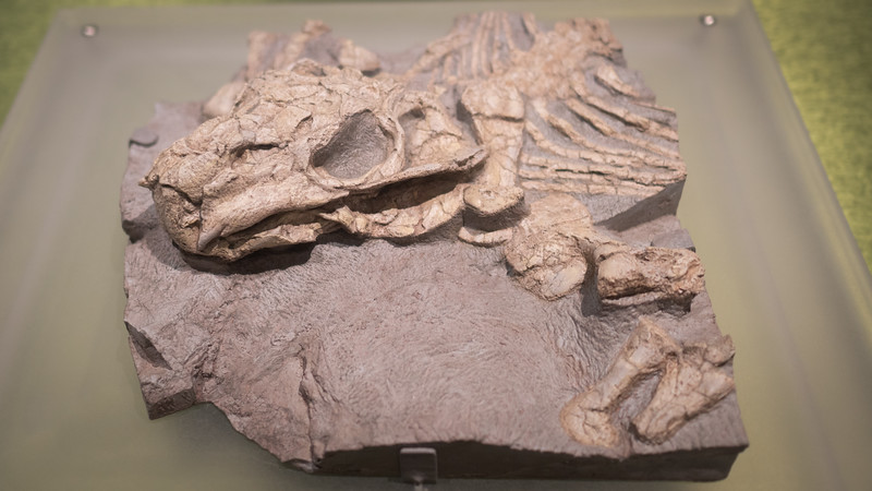 Antarctic Lystrosaurs fossil
