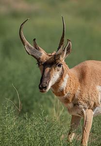 Sunrise Buck