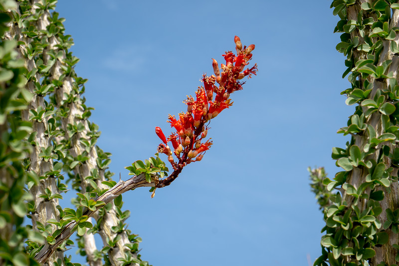 Ocotillo in blossom in Anza-Borrego State Park