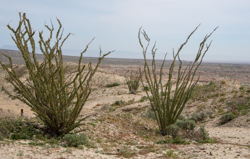 Ocotillo trees in Anza-Borrego State Park
