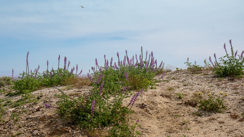 Desert Lupine on the edge of the Anza Borrego Badlands