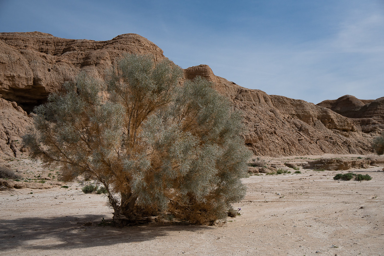 A Smoke Tree in a wash by the strange towering cliffs