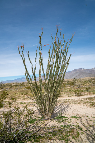 Ocotillo, part of the forest of ocotillo seen in the background