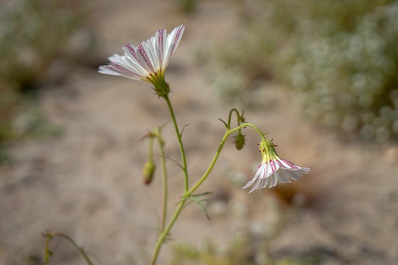 Desert Chicory Flower