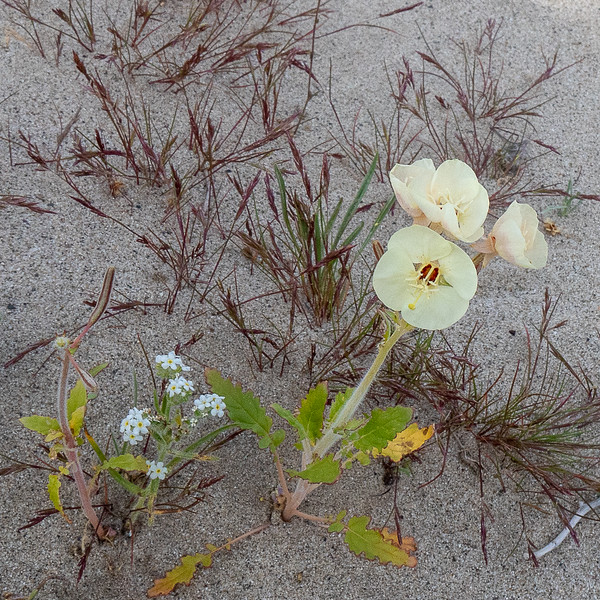 Small white Popcorn Flower and Brown-eyed Primrose