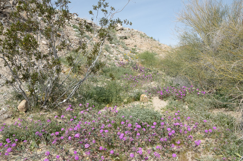 Verbena, popcorn flowers, sunflowers, and more are blooming at Anza-Borrego