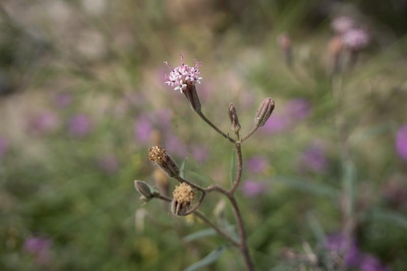 Spanish Needle flower