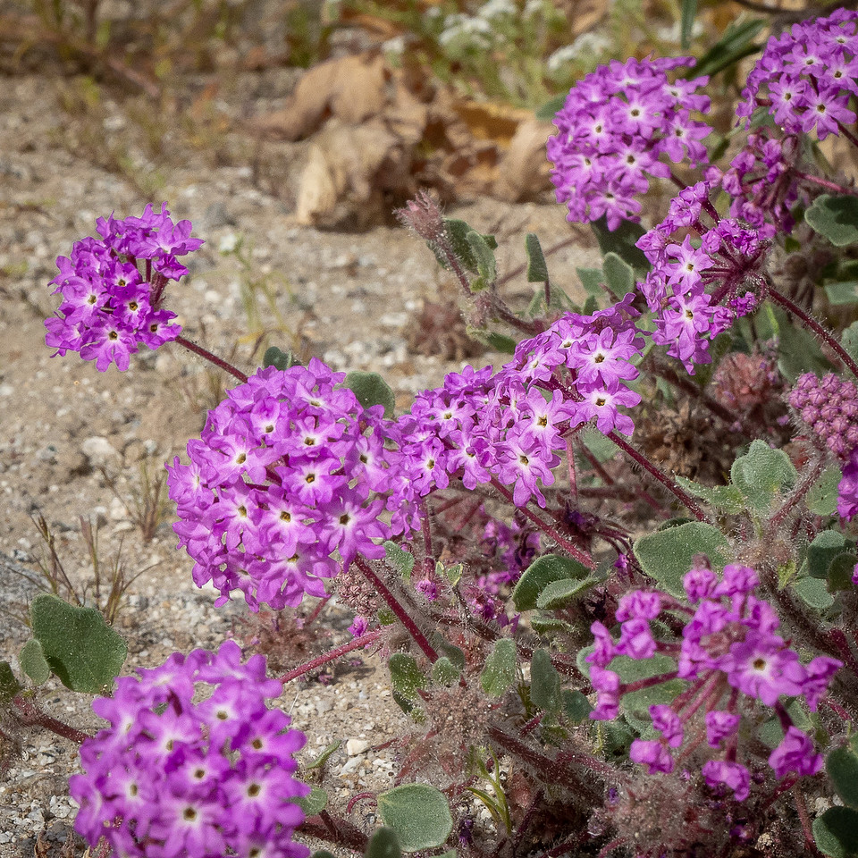 Desert Sand Verbena spread across the hillsides