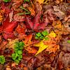 WVA-Fall Leaves CU-Oct132014_0266