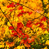 Red Maple Leaves-Oct122014_0620