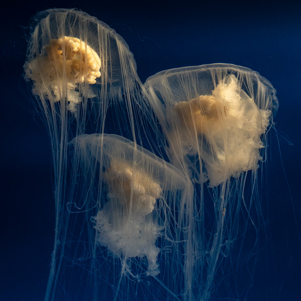 Gently swimming jellies at the Aquarium of the Pacific