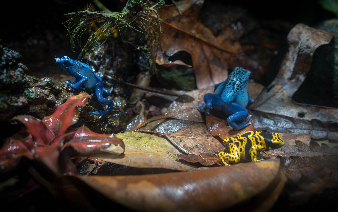Colorful little frogs, part of the exhibit at the Aquarium of the Pacific