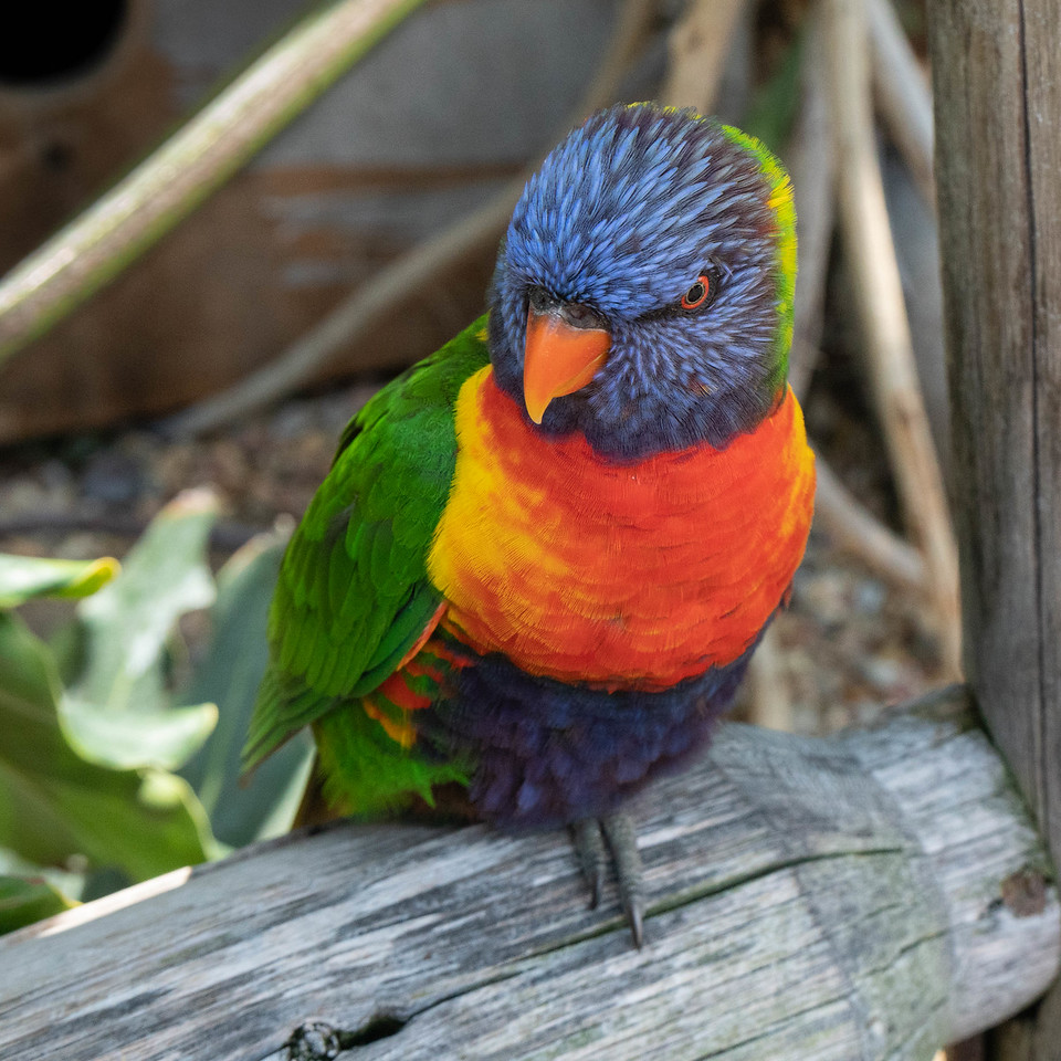 Lorikeet waiting for the next tourist with a cup of nectar.