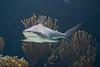 Bermuda, Bull Shark