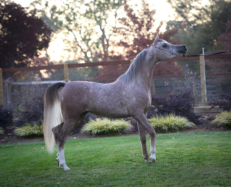 Starchance filly-304 fin