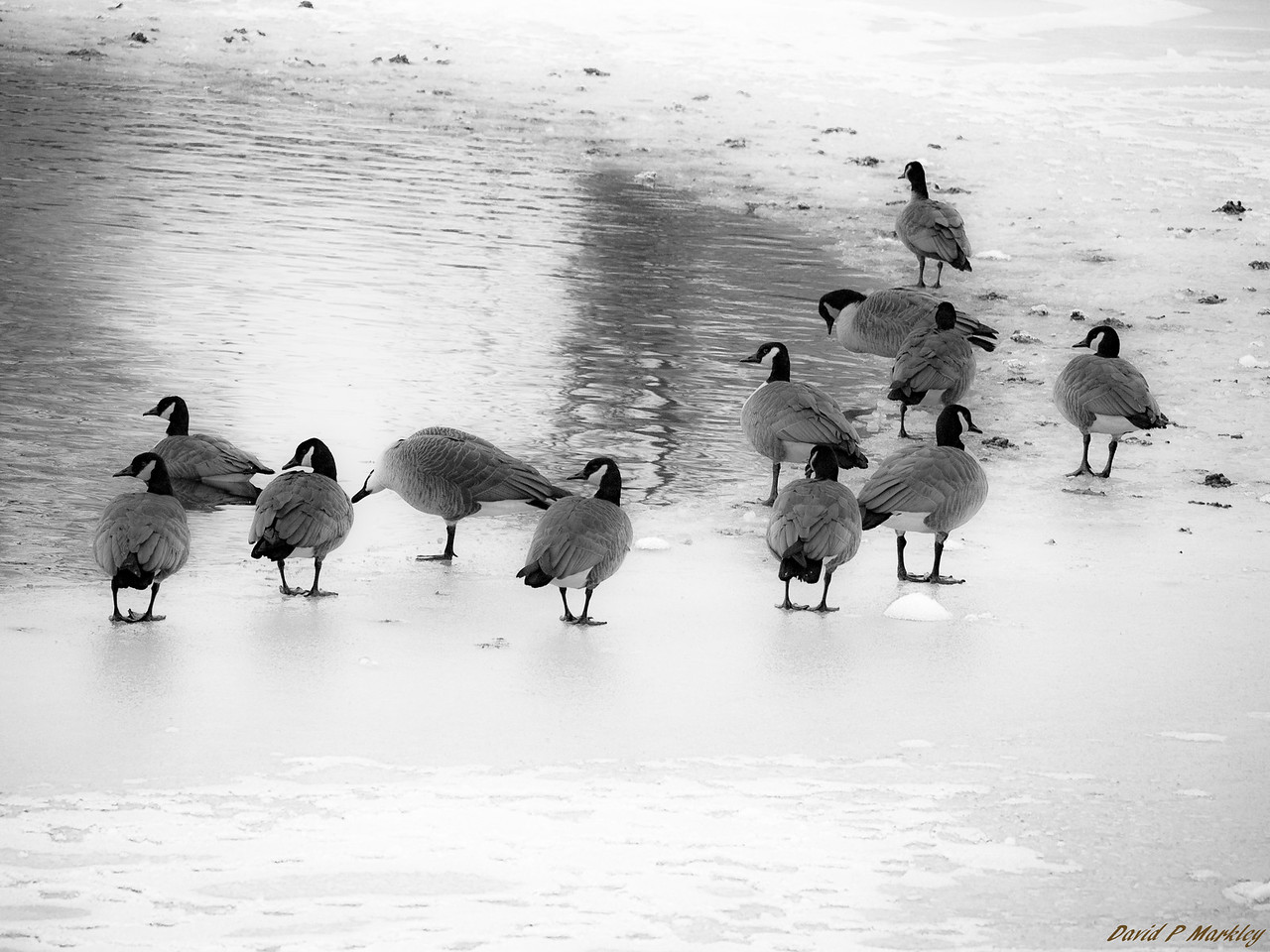 Frigid Flock
