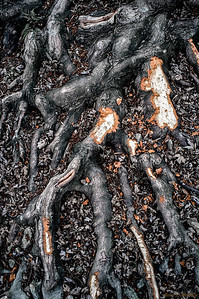 Root Scars