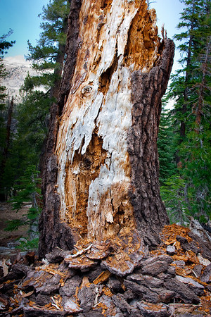 Torn Tree