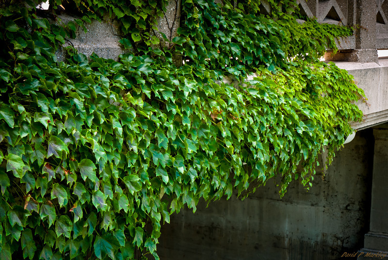 Bridge Ivy