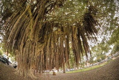 Moreton Bay Fig Tree,  Location: Mosman Oval, Sydney, NSW, Australia  Shot on 10.5mm Fisheye Nikkor, 5 exposure bracket at 1EV increments, then combined.