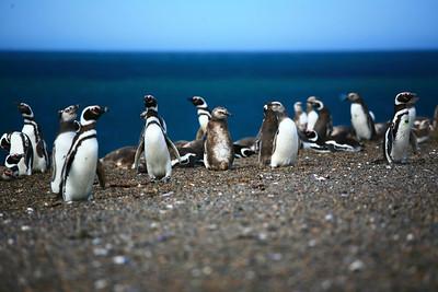 Magellanic penguins, Peninsula Valdes, Patagonia, Argentina.