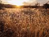 Sonoran Grasses