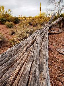 Fallen Saguaro Superstition Mountains