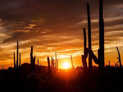 Saguaro Grove