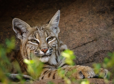 Bobcat, Arizona-Sonora Desert Museum