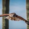 Ferruginous Hawk, Arizona-Sonora Desert Museum