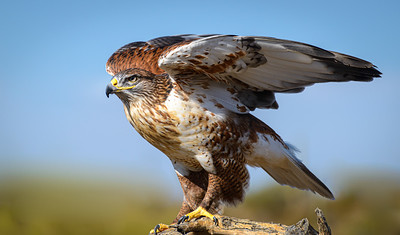 Ferruginous Hawk at Arizona-Sonora Desert Museum