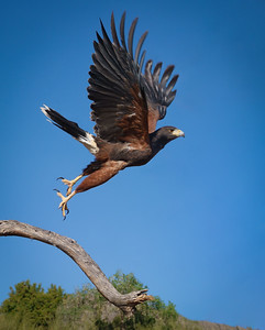Harris Hawk at Arizona-Sonora Desert Museum