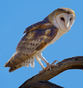 Barn Owl at Arizona-Sonora Desert Museum