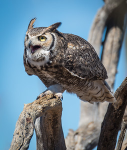 Great Horned Owl, Arizona-Sonora Desert Museum
