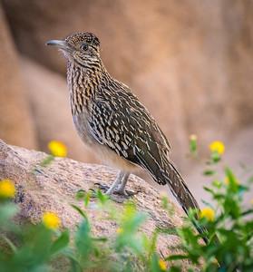 Roadrunner, Arizona-Sonora Desert Museum