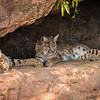 Bobcats, Arizona-Sonora Desert Museum