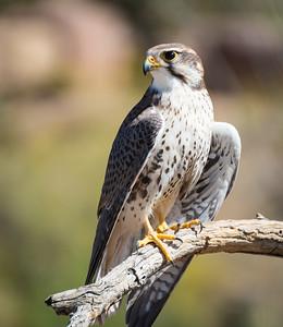 Prairie Falcon, Arizona-Sonora Desert Museum