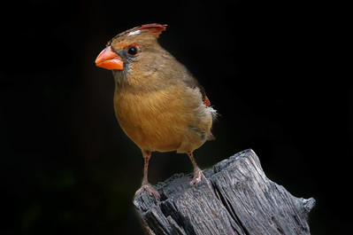 Female Cardinal at Arizona-Sonora Desert Museum