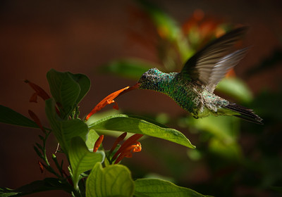 Hummingbird at Arizona-Sonora Desert Museum